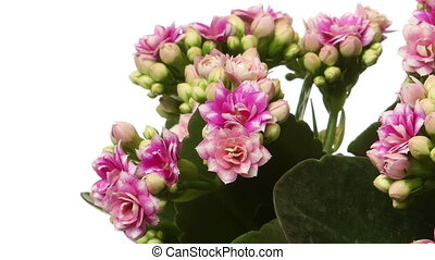 Pink Kalanchoe Flower Time-lapse - Time-lapse of Kalanchoe...