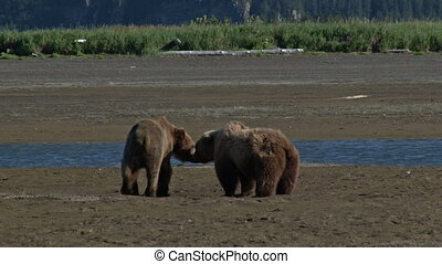 Grizzly bears checking out - Two Grizzly Bears Ursus arctos...