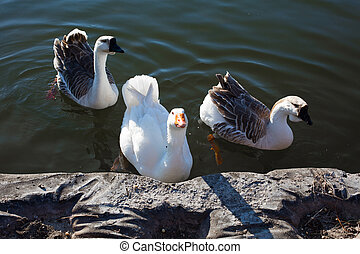 Three Geese in the Lake - Geese in the lake water looking at...