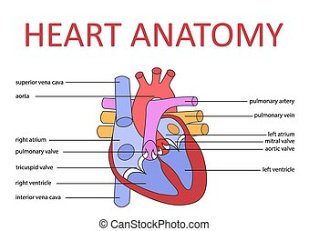 heart anatomy - human heart anatomy schematic diagram vector...