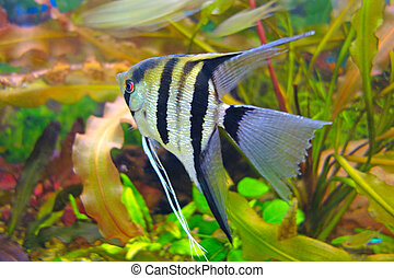 Angelfish in an aquarium - Pterophyllum is a small genus of...
