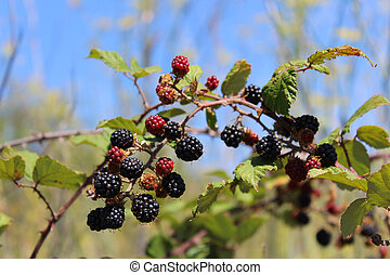 blackberries - red and black blackberries ready to become...