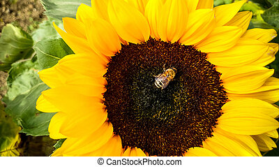 Bee on sunflower, collecting pollen, top view