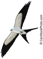 Swallow-tailed Kite - Swallow-tailed Kite - Elanoides...