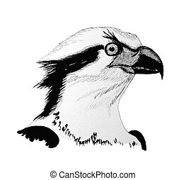 Osprey - Pandion haliaetus - head