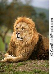 hermoso, león, salvaje, macho, animal, retrato