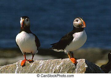 Atlantic Puffins - a pair of atlantic puffins ona rock