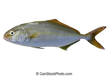 Seriola dumerili fish greater amberjack fish isolated on...