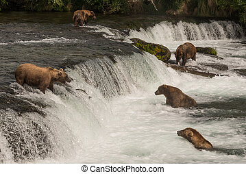 Five bears salmon fishing at Brooks Falls - Five brown bears...