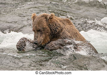 Bear tries to catch salmon in river - A brown bear up to its...