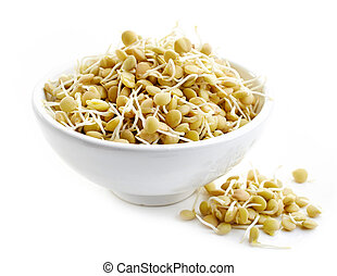 sprouted lentil seeds - bowl of sprouted lentil seeds...