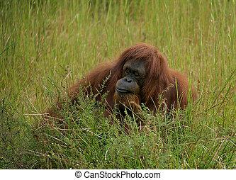 Orangutan in the grass. (Pongo abelii)(Pongo pygmaeus). -...