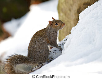Squirrel in the snow after a storm. - Beautiful winter...