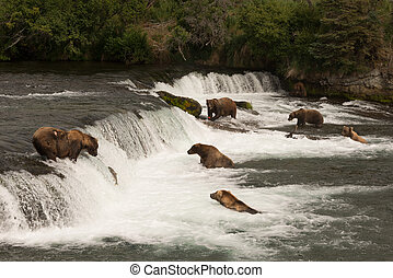 Six bears salmon fishing at Brooks Falls - Six brown bears...