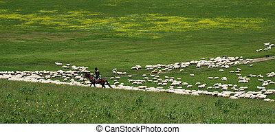 shepherd on horseback tending flock of sheep - shepherd on...