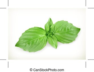 Green basil leaves, vector illustration