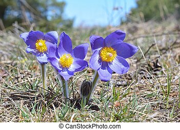 Mountain Pasqueflower - Group of purple flowers with...