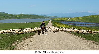 Shepherd on horseback runs flock of sheep crossing the road...