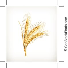 Ears of golden wheat, isolated on white background
