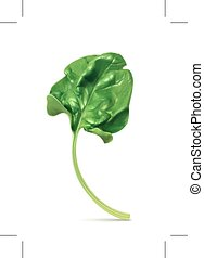 Fresh green leaf spinach, isolated on white background