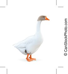 White goose illustration - White goose, isolated on white...