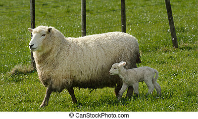 Mother sheep and her lamb in a sheep farm