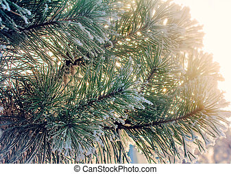 Pine branch, covered with snow - Pine branch with green long...