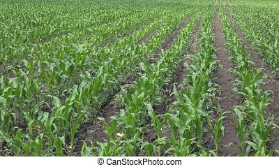 Corn crops in field - Green corn crops growing in cultivated...