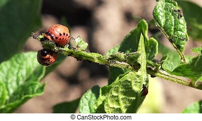 Spraying Insecticide on Potato Bug - Spraying Insecticide on...