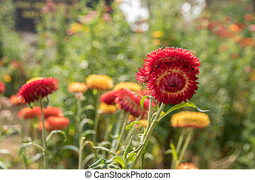 red Strawflower - red Helichrysum Paper daisy Strawflower...