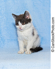 Little kitten calico kitten on a blue background