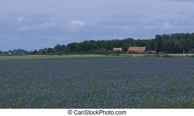 Flax cultivation in a polder in the Dutch province Zealand -...