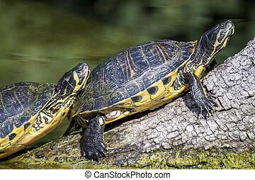 Pond slider turtle sunbathing