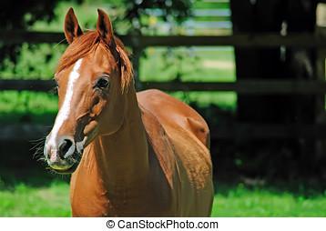 pasto, caballo, árabe