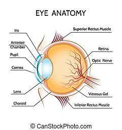 Eye anatomy. Iris and optic, pupil and vision, medical...