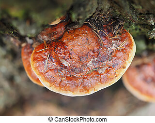 tinder fungus in the forest