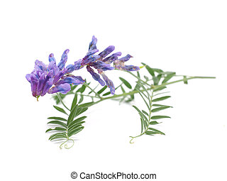 Tufted Vetch flowers isolated on white Vicia Cracca
