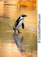 African penguin on the beach - African penguin along the...