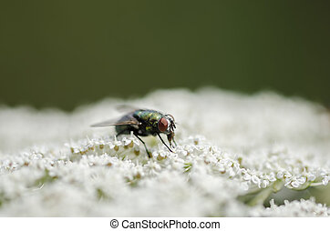 Fly sitting on a white flower against dark background