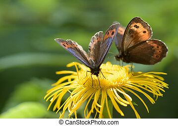Brown butterfly on a yellow flower under the summer sun