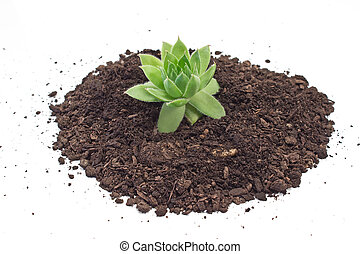 Humus soil pile with houseleek plant isolated on white