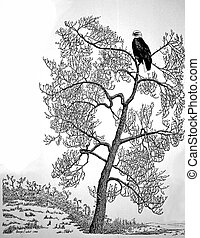 Bald Eagle - Haliaeetus leucocephalus - in Cottonwood Tree