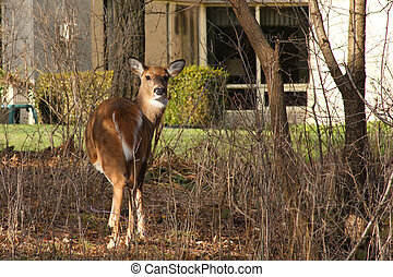 White-tail Deer In Our Backyards Standing In Sun