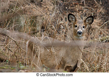 White-tail Deer Young Looking At Camera