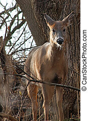 White-tail Deer Standing In Afternoon Sun