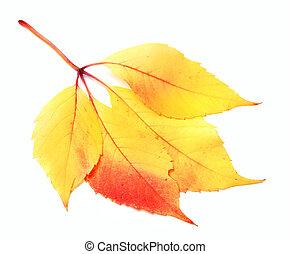 Autumnal grapes leaf, Parthenocissus quinquefolia foliage....