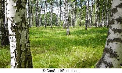 Trunks of birch trees in summertime - Slider shot of trunks...