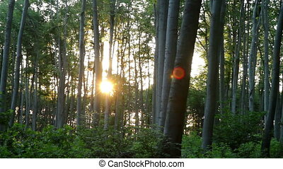 Beautiful beech forest with sunlight