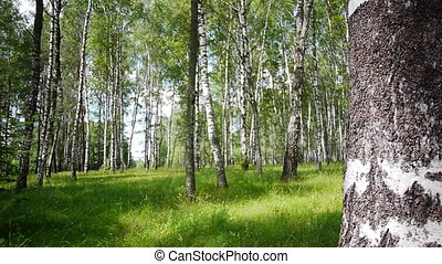Trunks of birch trees in summertime - Slider shot of trunks...