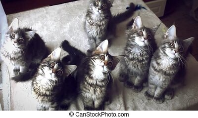 Funny Maine coon cats move their heads back and forth...